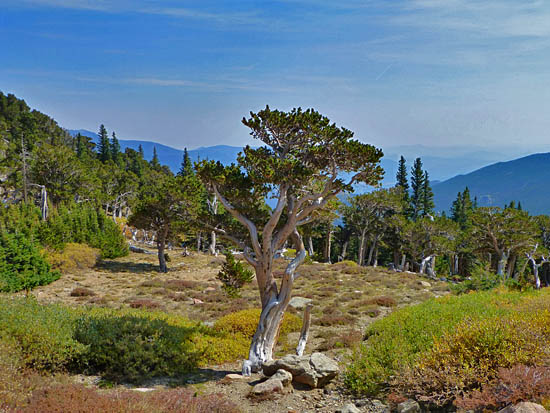 Ancient bristlecone pine forests highlight the Mt Goliath Natural Area